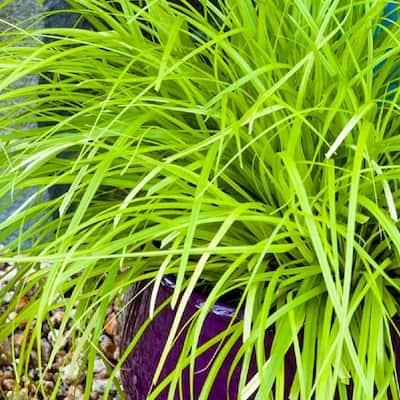 2.5 Qt. Evercolor Everillo Carex, Live Evergreen Grass, Lime Yellow Foliage