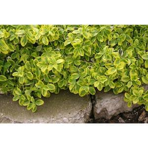 Gold Splash Wintercreeper (Euonymus) Live Evergreen Shrub, Green and Yellow Foliage, 1 Gal.