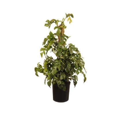 Monstera Ginny Totem Live Indoor House Plant 38 in. Tall in 9.25 in. Grower Pot