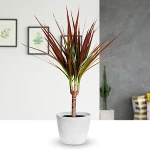 4 in. Magenta Dracaena Plant in Black Pot (4-Piece)