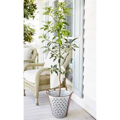 1 Gal. Cold Hardy Avocado Tree