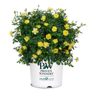 2 Gal. Oso Easy Lemon Zest Rose Plant with Sunny, Canary Yellow Flowers