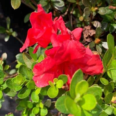 3 Gal. Vivid Azalea Shrub with Bright Red Flowers