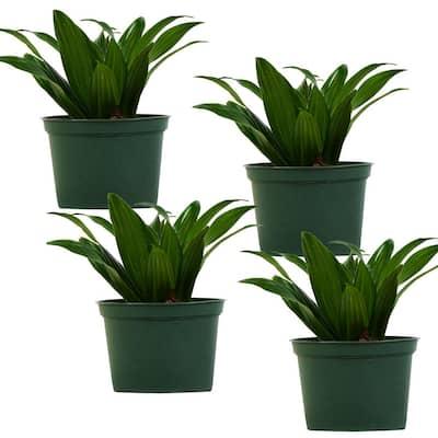 Janet Craig Dracaena (Dracaena Deremensis) Live Plant in 6 in. Growers Pot (4-Pack)