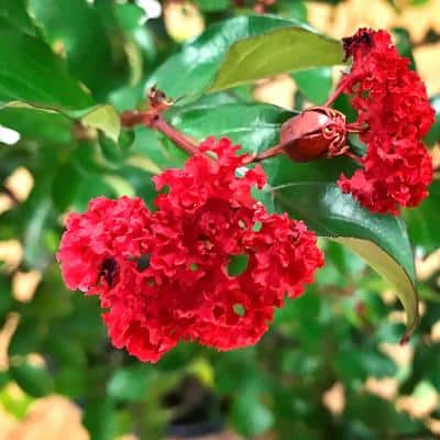 1 Gal. First Editions Ruffled Red Magic Crape Myrtle Tree