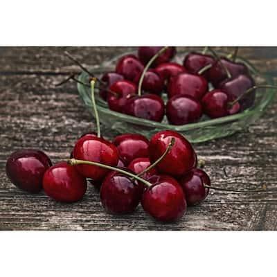 Dwarf Bing Cherry Tree Bare Root