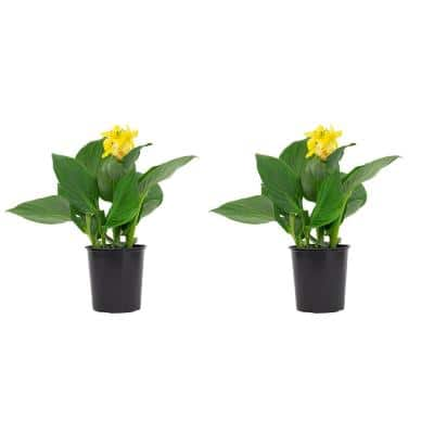 2.5 Qt. Canny Lily Plant Yellow Flowers in 6.33 In. Grower's Pot (2-Plants)