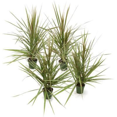 4 in. Bi-Color Dracaena Plant in Black Pot (4-Piece)
