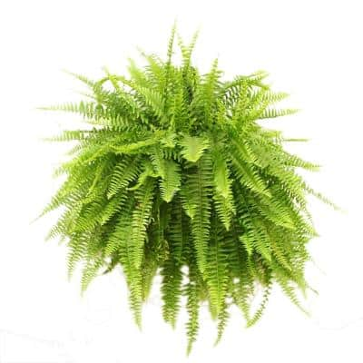 Boston Fern Plant in 10 in. Hanging Basket