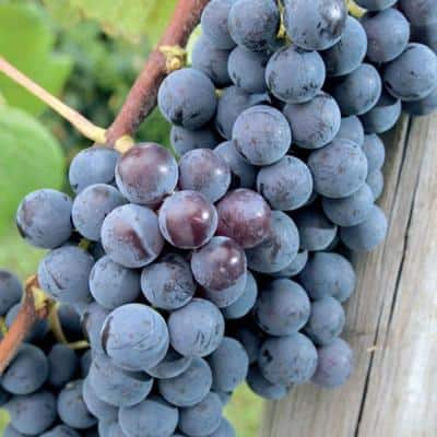 Concord Grape (Vitis), Live Bareroot Plant, Purple Fruit Clusters (1-Pack)