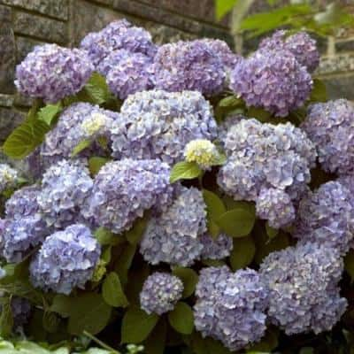 2 Gal. The Original Hydrangea(Macrophylla) Live Deciduous Shrub, Pink or Blue Mophead Blooms