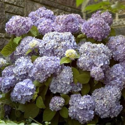 3 Gal. The Original Hydrangea(Macrophylla) Live Deciduous Shrub, Pink or Blue Mophead Blooms