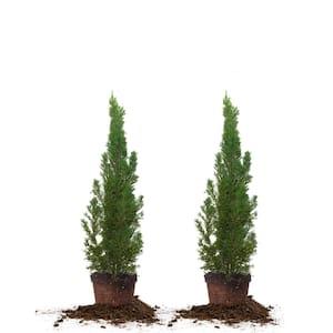 2 ft.- 3 ft. Italian Cypress (2-Pack)