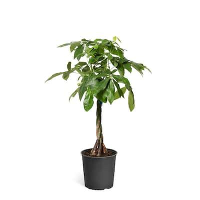 3 Gal. Money Tree Pachira Aquatica Plant in Pot