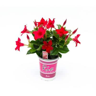 1 Qt. Dipladenia Flowering Annual Shrub with Red Blooms