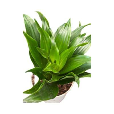 4 in. Plastic Pot Dracaena Fragrans, Janet Craig, Live Potted Plant