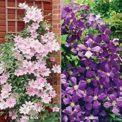 Clematis Collection 2 Varieties (Set of 2 Plants)