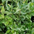 2.5 Qt. Curly Leaf Ligustrum Recurvifolia, Evergreen Shrub, Creamy-White Flowers
