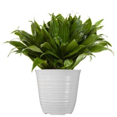 14 in. to 16 in. Tall Dracaena Janet Craig Plant in 6 in. White Decor Pot