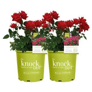2 Gal. Red The Double Knock Out Rose Bush with Red Flowers (2-Plants)