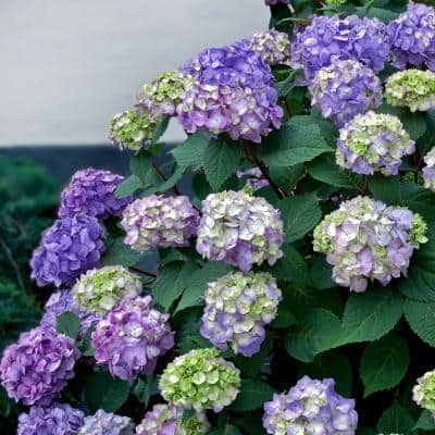 1 Gal. BloomStruck Hydrangea(Macrophylla) Live Deciduous Shrub, Pink or Blue or Purple Blooms