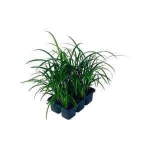 2.25 Qt. Liriope Plant Super Blue in 2.75 In. Cell Grower's Tray (6-Plants)