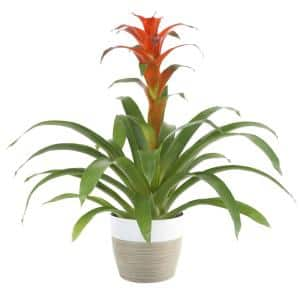 Bromeliad Plant Grower's Choice Colors in 6 in. Decor Pot