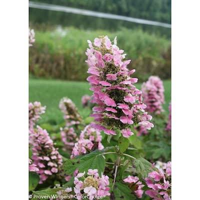 Gatsby Pink Oakleaf Hydrangea (Quercifolia) Live Shrub, White to Pink Flowers, 1 Gal.