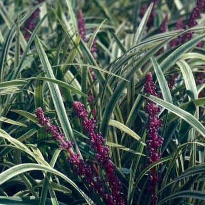 Variegated Liriope 3 1/4 in. Pots (54-Pack) - Live Groundcover Grass