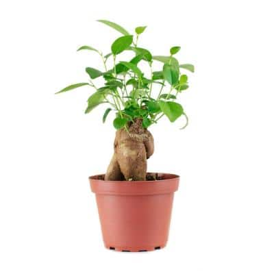 Ficus Ginsengin 4 in. Grow Pot, Live Indoor/Outdoor Air Houseplant and Office Décor