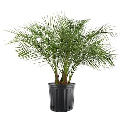 10 in. Phoenix Roebelenii Tree in Pot