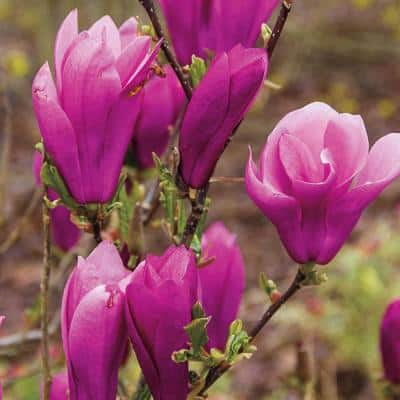 Jane Magnolia Live Bareroot Tree with Pink Flowers (1-Pack)