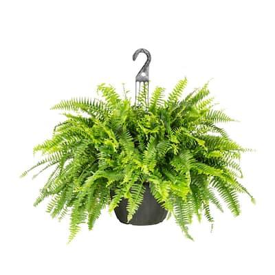 2.25 Gal. Boston Fern Hanging Basket Tropical Plant