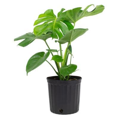 1.9 Gal. Philodendron Monstera Deliciosa Plant in 9.25 in. Grower Pot