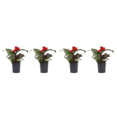2.5 Qt. Canna Lily Red Flowers in 6.33 In. Grower's Pot (4-Plants)