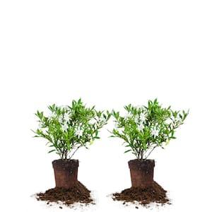 #1 Frostproof Gardenia Shrub (2-Pack)