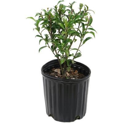 2.5 Qt. Camellia Sasanqua Plant with White Blooms