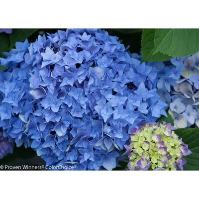 4.5 in. Qt. Let's Dance Rhythmic Blue Reblooming Hydrangea (Macrophylla) Live Shrub, Blue or Pink Flowers