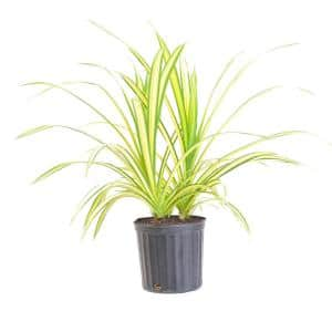 26 in. to 32 in. Tall Gold Striped Screwpine Pandanus Live Indoor Plant Shipped in 9.25 in. Grower Pot