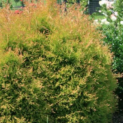 2.5 Qt. Fire Chief Arborvitae (Thuja) Live Dwarf Evergreen Shrub, Golden-Orange Foliage