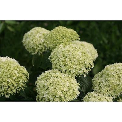 1 Gal. Invincibelle Limetta Smooth Hydrangea, Live Shrub, Green-White Flowers