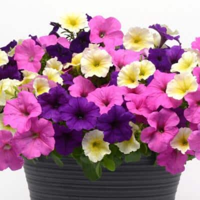 0.5 Qt. Multicolor Easy Wave Combo Petunia Annual Plant with Blue, Neon Rose, and Yellow Flowers (3-Plants)