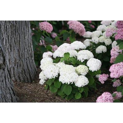 Invincibelle Wee White Smooth Hydrangea Live Shrub White Flowers 1 Gal.