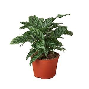 Freddie Calathea Concinna Plant in 6 in. Grower Pot