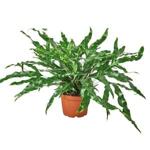 Kangaroo Paw (Fern) Plant in 6 in. Grower Pot