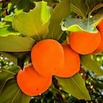5 Gal. Fuyu Jiro Persimmon Tree