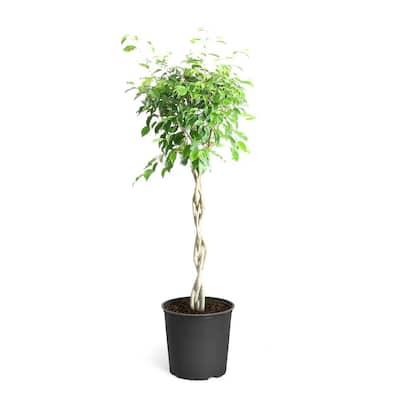 3 Gal. Benjamina Ficus Plant 2 ft. to 3 ft. Tall