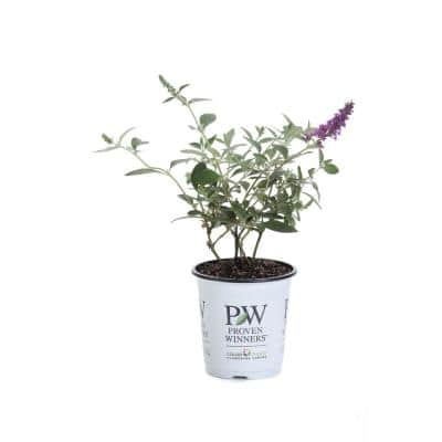 Lo and behold 'Blue Chip Jr.' Butterfly Bush (Buddleia) Live Shrub, Blue-Purple Flowers, 4.5 in. Qt.