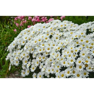 Amazing Daisies Daisy May Shasta Daisy (Leucanthemum) Live Plant, White Flowers,0.65 Gal.