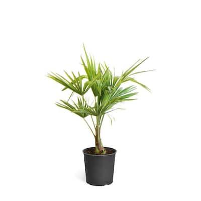 3 Gal. Pindo Palm Tree in Pot
